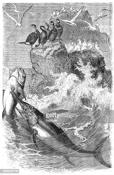 Swordfish (Xypias gladius)