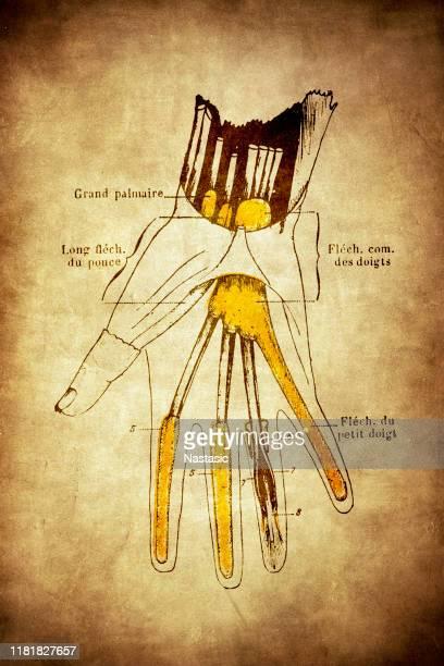 手首、手のひら、指の指のスイノビアルシース - 靭帯点のイラスト素材/クリップアート素材/マンガ素材/アイコン素材