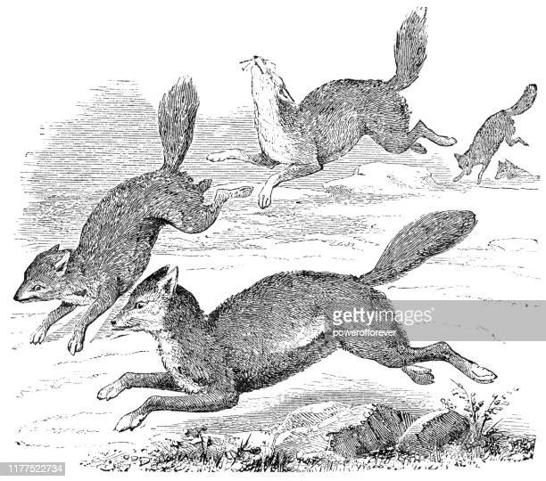 syrian golden jackals - 19th century - pack of dogs stock illustrations
