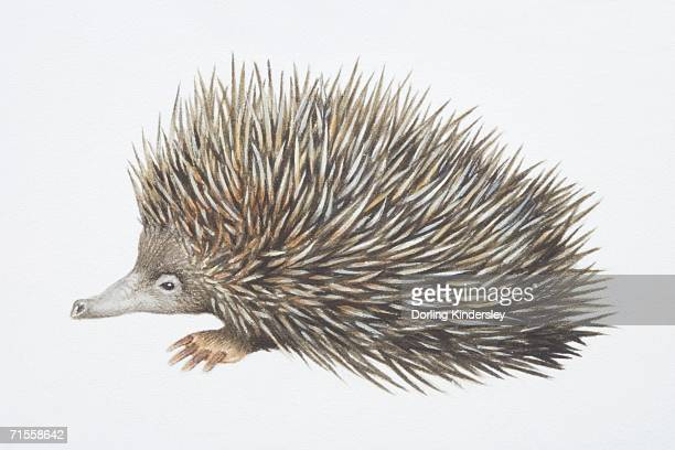 tachyglossus aculeautus, short-nosed echidna, side view. - echidna stock illustrations