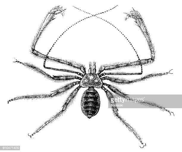 Tailless Whipscorpions (Phrynus lunatus)