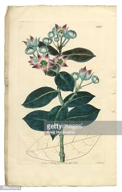 tall calotropis, calotropis procera, apocynaceae, victorian botanical illustration, 1835 - milkweed stock illustrations