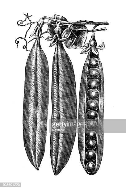 tall pea - green pea stock illustrations