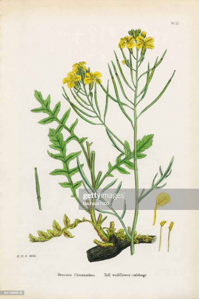 Tall Wallflower Cabbage, Brassica Cheiranthus, Victorian Botanical Illustration, 1863 : stock illustration