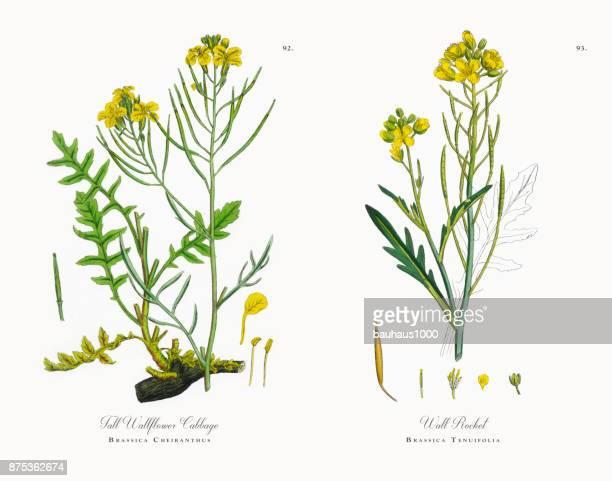 ilustrações, clipart, desenhos animados e ícones de wallflower alto couve, brassica cheiranthus, ilustração botânica vitoriana, 1863 - bok choy