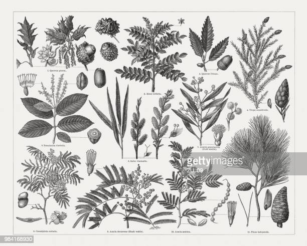 illustrazioni stock, clip art, cartoni animati e icone di tendenza di tanning materials supplying plants, wood engravings, published in 1897 - mimosa fiore