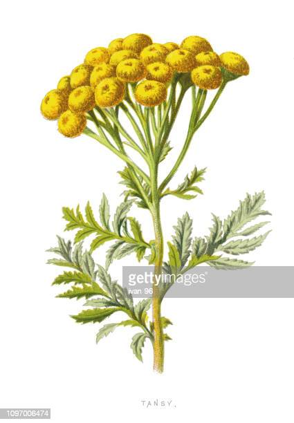 tansy, bitter buttons, cow bitter - tansy stock illustrations