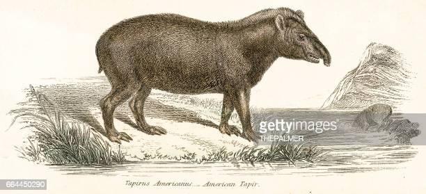 Tapir engraving 1803