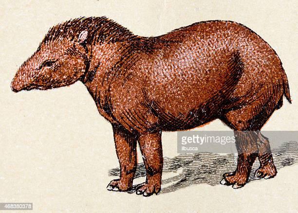 Tapir, mammals animals antique illustration