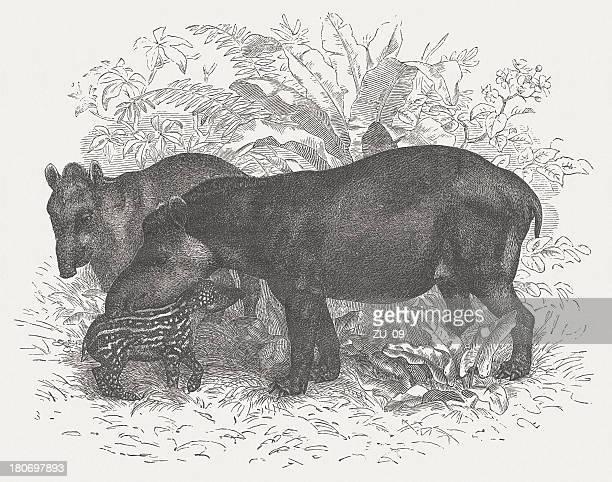 Tapirs (Tapirus bairdii), wood engraving, published in 1875