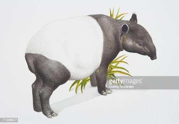 Tapirus indicus, Malayan tapir, side view.