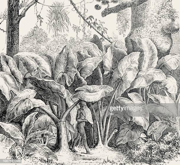 Plantas del taro