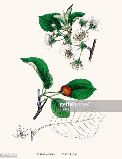 タルト桜の植物 19 世紀のイラストレーション - サワーチェリー点のイラスト素材/クリップアート素材/マンガ素材/アイコン素材