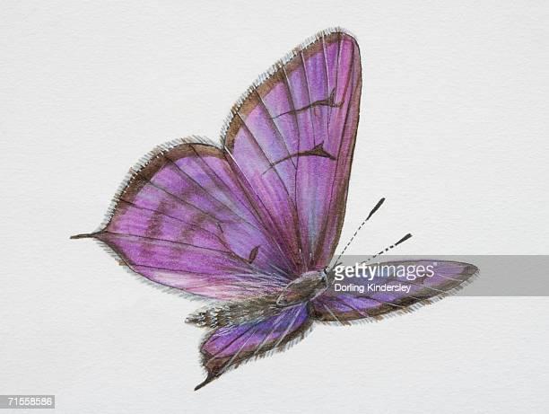 tarucus balkanicus, little tiger blue butterfly in flight. - animal limb stock illustrations, clip art, cartoons, & icons