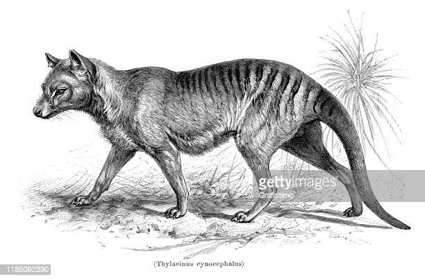 tasmanian tiger thylacinus cynocephalus illustration 1896 - mammal stock illustrations