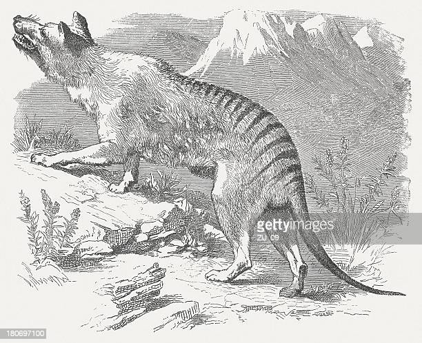 tasmanian tiger (thylacinus cynocephalus, extinct 1936), wood engraving, published 1875 - saurischia stock illustrations