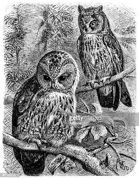 ilustrações, clipart, desenhos animados e ícones de tawny owl (syrnium aluco) and long-eared owl (otus vulgaris) - zoologia