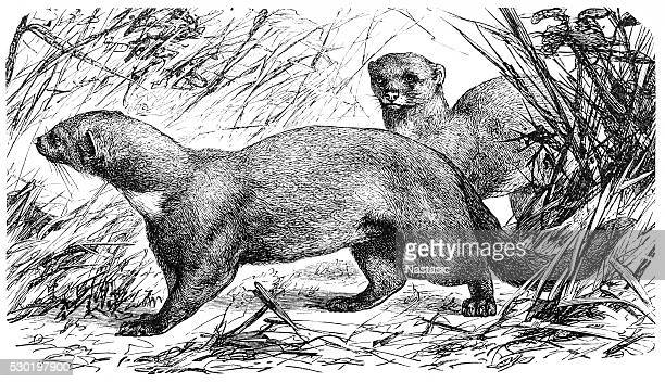tayra (galictis barbara) - silky anteater stock illustrations