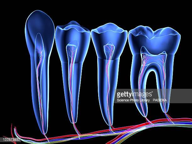teeth, cross section - four objects stock illustrations