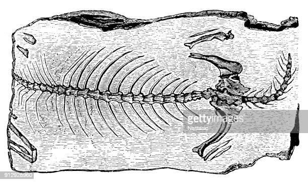 Telerpeton Elginense (lizard) ,Fossils from the Paleozoic Era