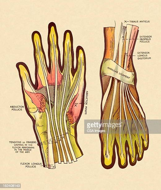 tendons and ligaments in hand and foot - labeling stock illustrations, clip art, cartoons, & icons
