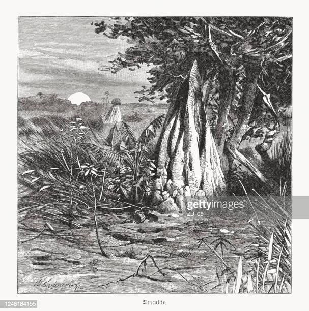 ilustraciones, imágenes clip art, dibujos animados e iconos de stock de montículos de termitas en el africa central, grabado en madera, publicado en 1891 - biodiversidad