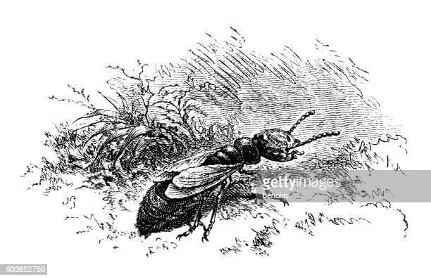 illustrations, cliparts, dessins animés et icônes de nymphe de termite - termite