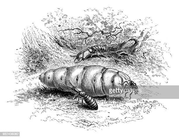 illustrations, cliparts, dessins animés et icônes de termites (reine, soldat et des travailleurs contre les termites) - termite
