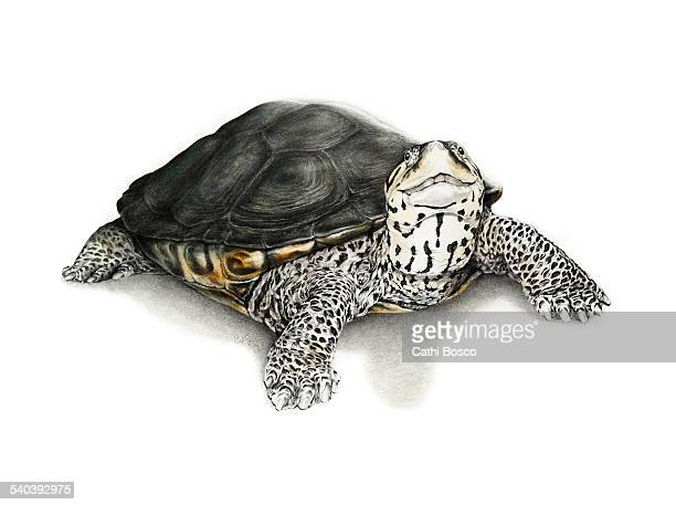Terrapin or Turtle  by Cathi Bosco