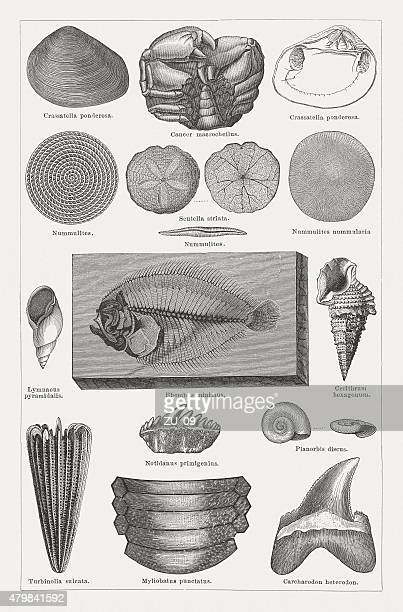 Tertiary fossils, wood engravings published in 1878