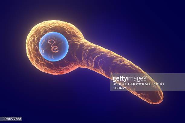 tetanus bacterium, illustration - gas gangrene stock illustrations