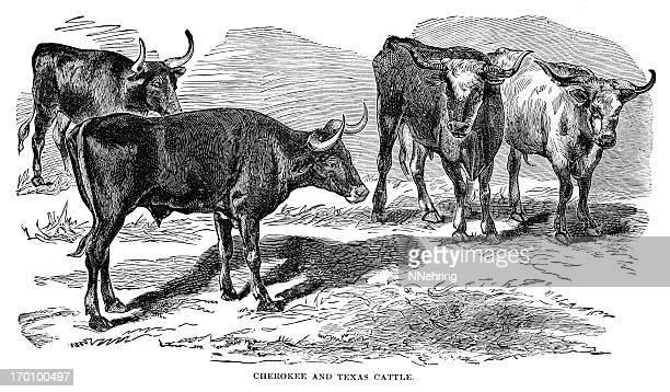 texas longhorn cattle - texas longhorns stock illustrations