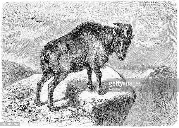thar (capra bubalina), an indian goat - encyclopaedia stock illustrations, clip art, cartoons, & icons