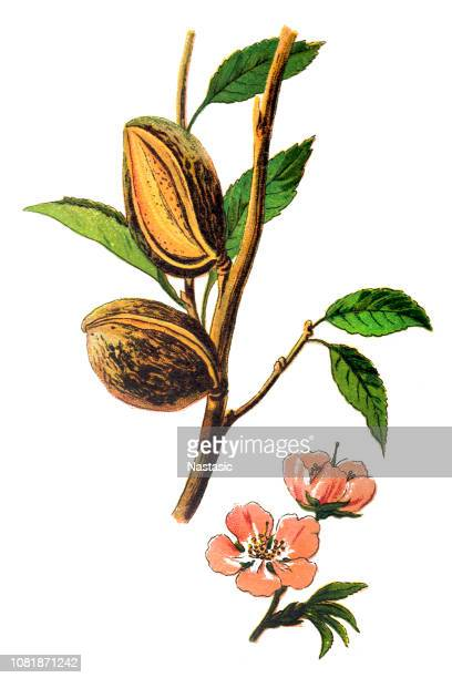 The almond (Prunus dulcis, syn. Prunus amygdalus)