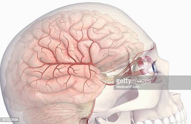 The arteries of the brain and eyes
