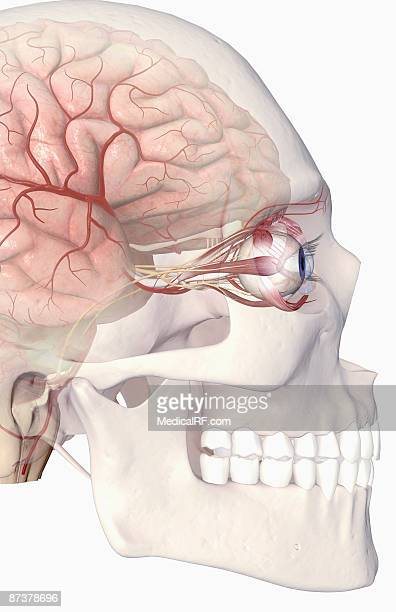 the arteries of the brain and eyes - optic nerve stock illustrations, clip art, cartoons, & icons