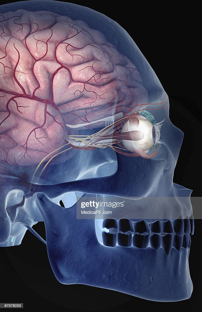 The arteries of the brain and eyes : stock illustration