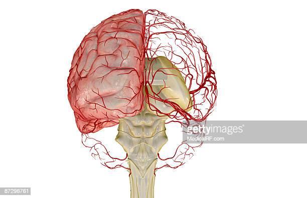 illustrations, cliparts, dessins animés et icônes de the arteries of the brain - images