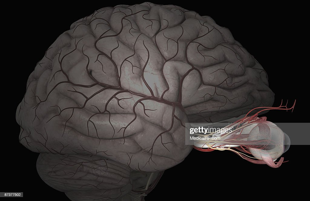 The arteries of the eyes : stock illustration