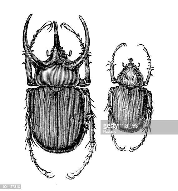 The Atlas beetle (Chalcosoma atlas)