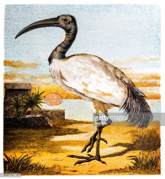 The Australian white ibis (Threskiornis molucca)
