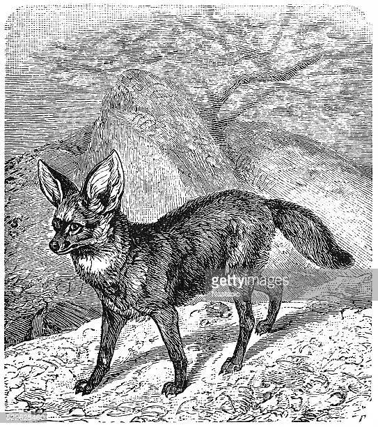 The bat-eared fox (Otocyon megalotis)