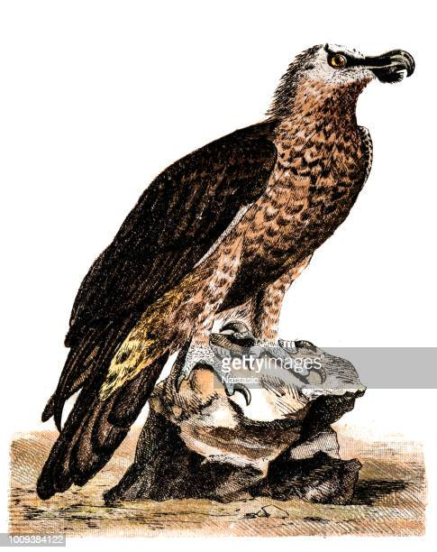 The bearded vulture (Gypaetus barbatus), also known as the Lammergeier or ossifrage
