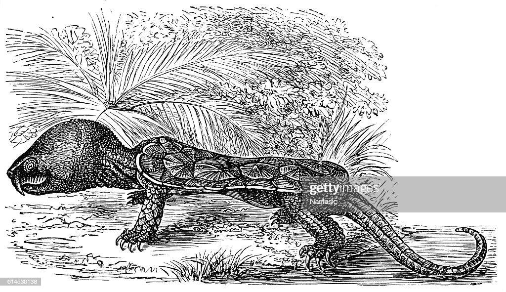 The big-headed turtle (Platysternon megacephalum : Ilustração