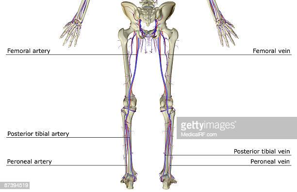Femoral Vein Stock Illustrations And Cartoons   Getty Images