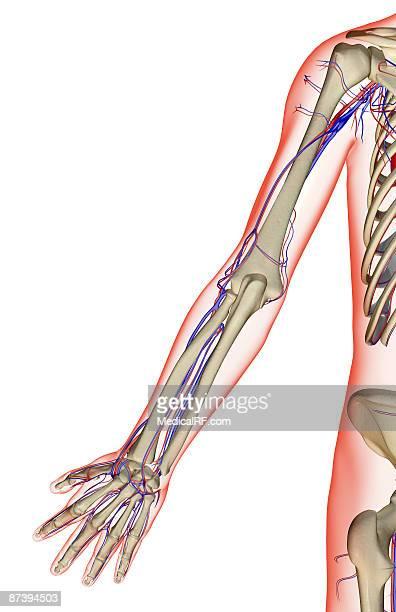 ilustraciones, imágenes clip art, dibujos animados e iconos de stock de the blood supply of the upper limb - miembro humano