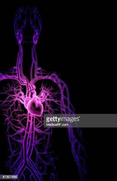 illustrations, cliparts, dessins animés et icônes de the blood vessels of the upper body - images