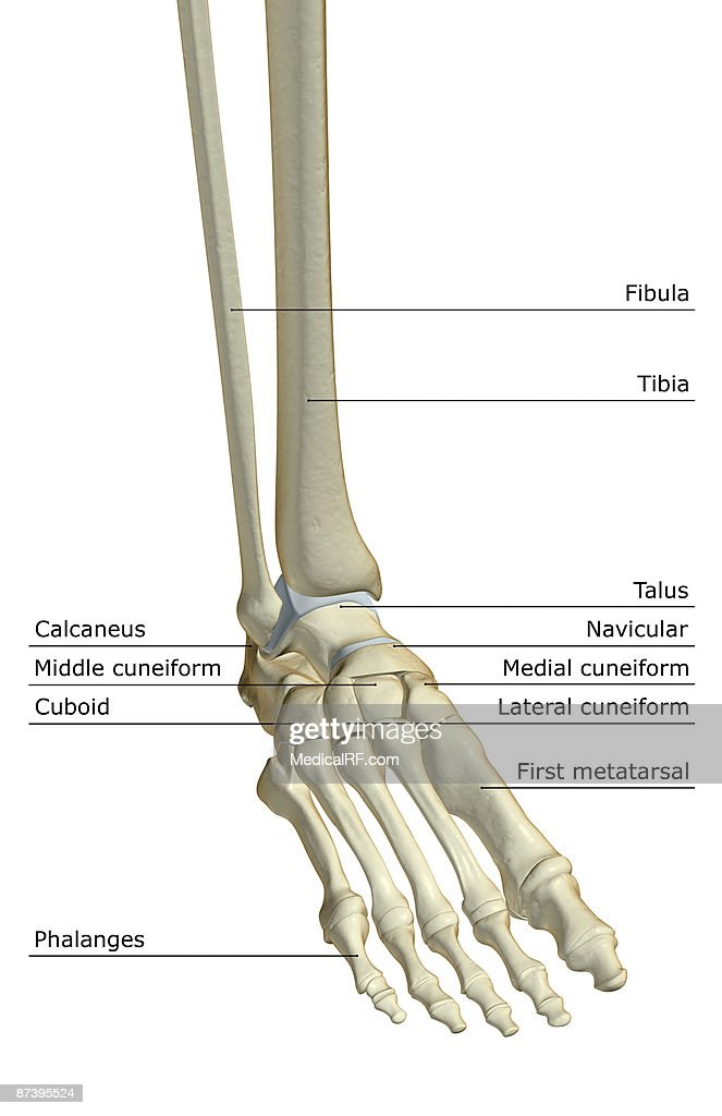 The Bones Of The Foot Stock Illustration Getty Images