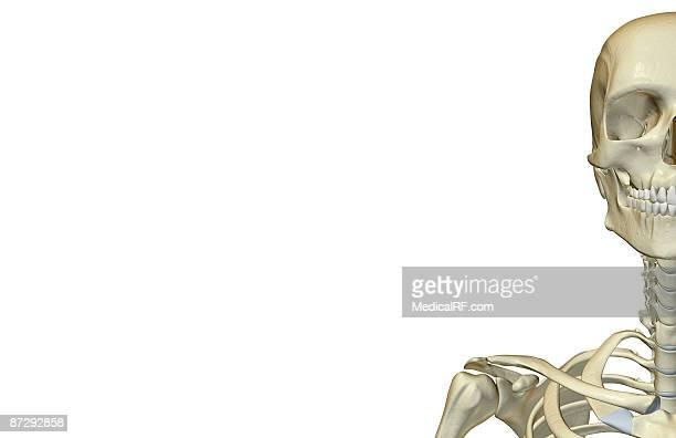 the bones of the head and neck - あご点のイラスト素材/クリップアート素材/マンガ素材/アイコン素材
