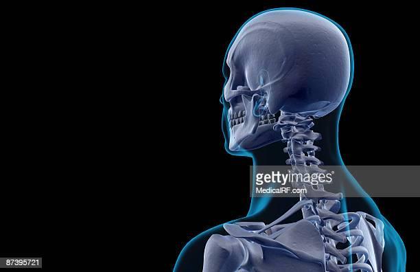 illustrazioni stock, clip art, cartoni animati e icone di tendenza di the bones of the head and neck - images